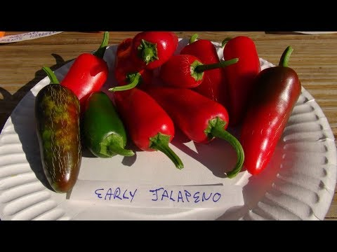 ⟹ Jalapeno Early Hot Pepper, Capsicum annuum, PLANT REVIEW #pepper
