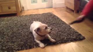 Bonnie: Bulldog Shih Tzu Cross Going Crazy With The Remote