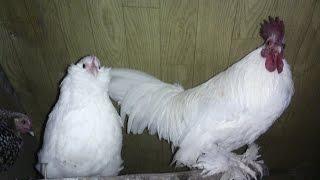 Karzełki łapciate białe - nowe nabytki
