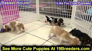 Basset Hound, Puppies, For, Sale, In, Billings, Montana, Mt, Missoula, Great  Falls, Bozeman