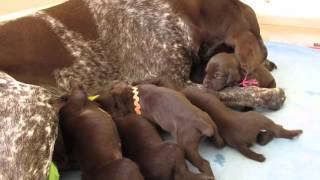 German Shorthaired Pointer Puppies - Day 15 -- Late for Lunch