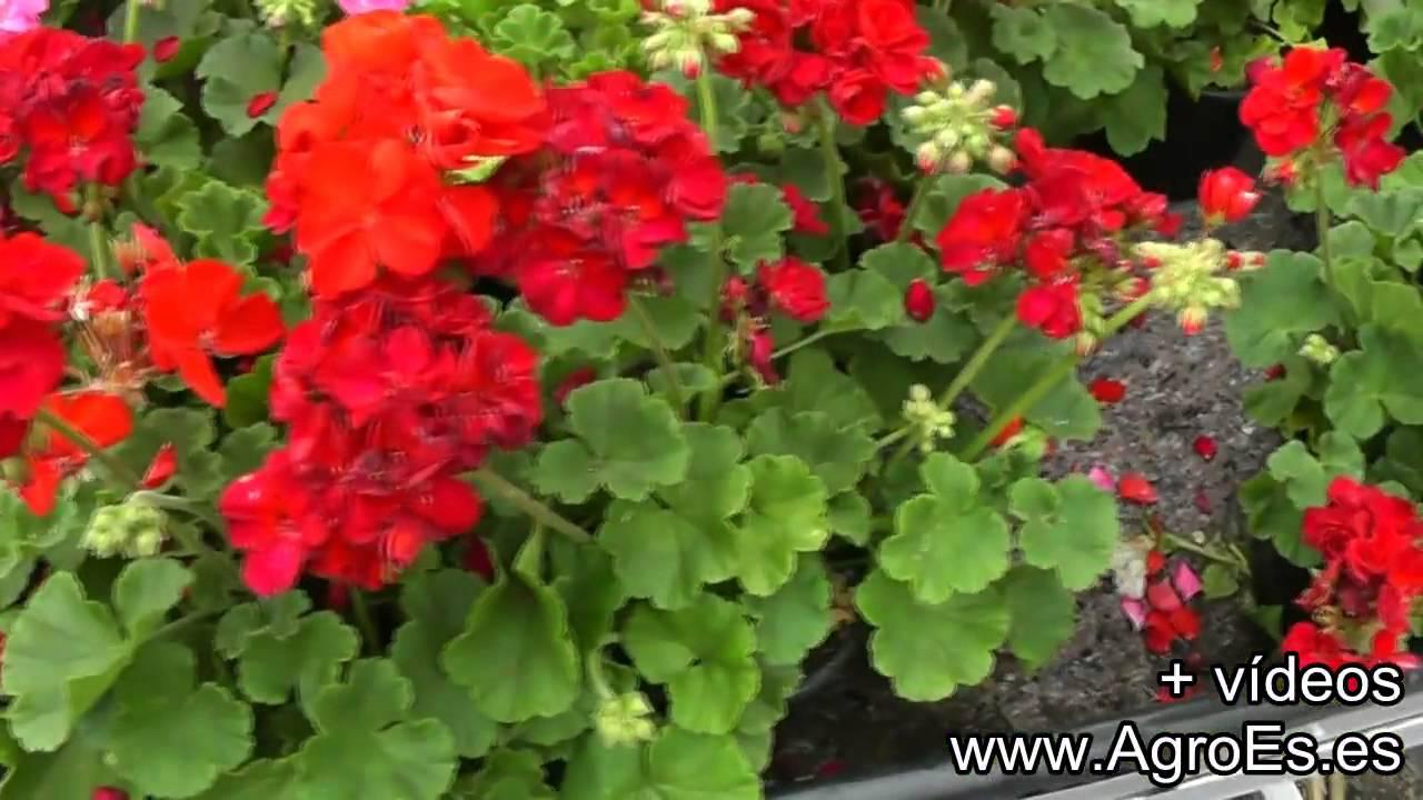Geranios plantas para trasplantar youtube for Plantas para veredas con flores