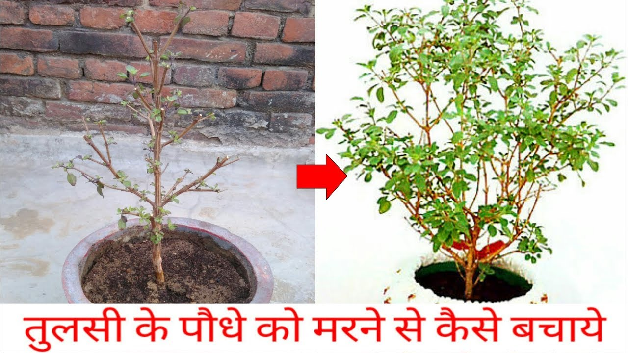 how to save drying tulsi plant holy basil care of tulsi plant holy basil youtube. Black Bedroom Furniture Sets. Home Design Ideas