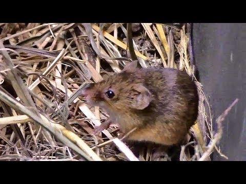 カヤネズミ (井の頭自然文化園)Harvest Mouse