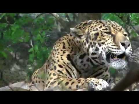 Beautiful Jaguar Roar