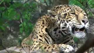 Beautiful Jaguar Roar