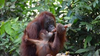 The Orangutans of Borneo