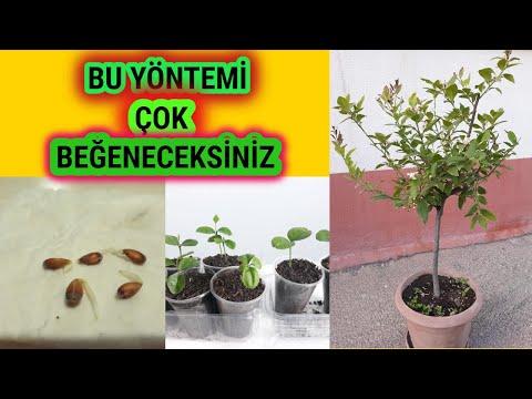 Limon Çekirdeğinden Limon Ağacı Yetiştirme,Limon Çekirdeği Çimlendirme,Püf Nokta,GROWİNG LEMON TREE