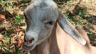 Выкармливание месячных козлят. Козлята Чернички. Если не хватает молока мамы-козы.