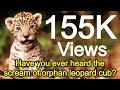 कभी नहीं सुनी होगी अनाथ शावक तेंदुए की चीखे Never heard orphaned leopard cubs screams