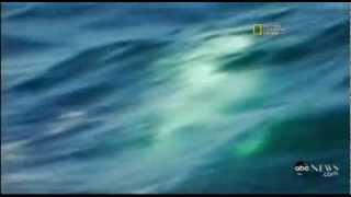 !!KILLER WHALE VS GREAT WHITE SHARK!!