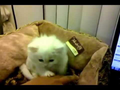 3 months old Persian cat playing