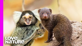 Tiny Marmoset Monkey Obsessed With Fierce Mongooses