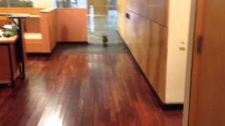 Cairn Terrier Puppy Runs Into Door
