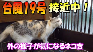 Calico cat NekoKichi can't stop thinking about the typhoon No.19