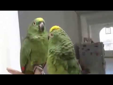 Два попугая поют.