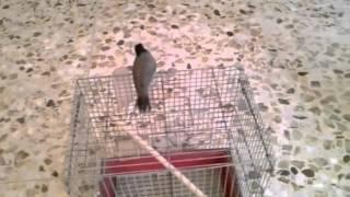 بلابل علاوي علاج الخوف عند البلابل والطيور@ali