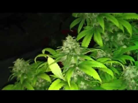 Grow your Own Medical Marijuana Cash Crop - Pre 98 bubba, urkel, Easy Rider Kush