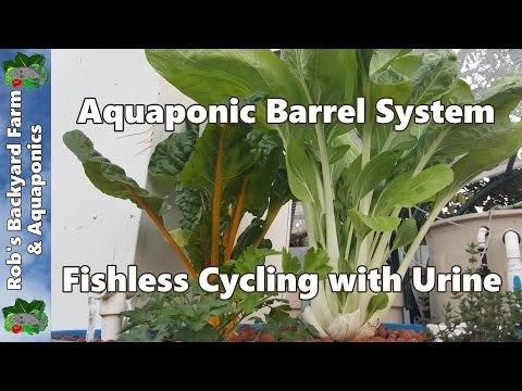 Aquaponic Barrel System. Fishless Cycling With Urine + 2 Month Update.