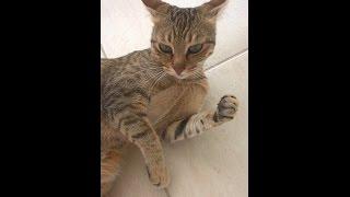 видео Аравийский мау