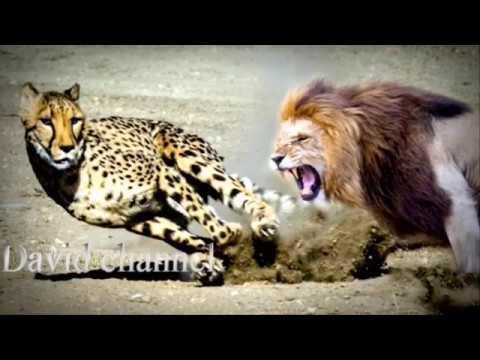 Báo và sư tử, david channel ,  newspapers and lions
