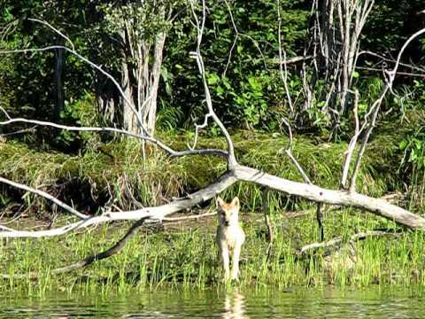 Lone Wolf Pup near Thompson, Manitoba