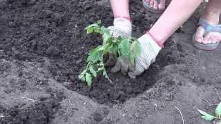 Посадка помидор, как садить томаты(В этом видео смотрите: