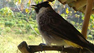 Burung kutilang pikat suara bening