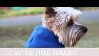 Adidog толстовка для собак!!! Одежда для собак и собачек(, 2015-11-17T06:33:03.000Z)