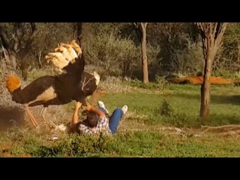 Shocking Moment Ostrich Attacks Man