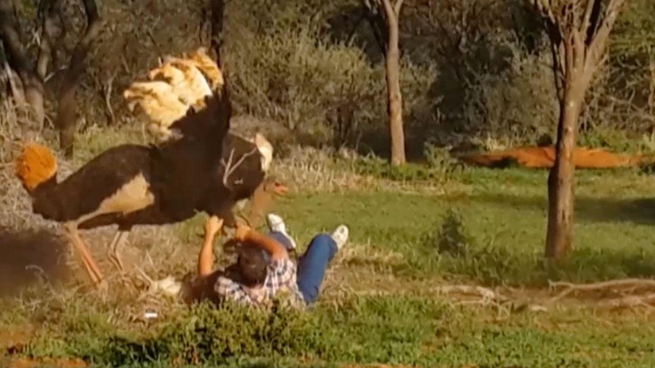 Grandpa Fights an Ostrich