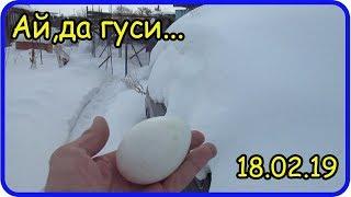 Первое гусиное яйцо в Феврале...Я в шоке..