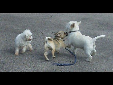 Jug dog  Bridie,  Paddy Westie & Bichon Frise.