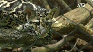 Редкие дымчатые леопарды дебютируют в зоопарке Вашингтона