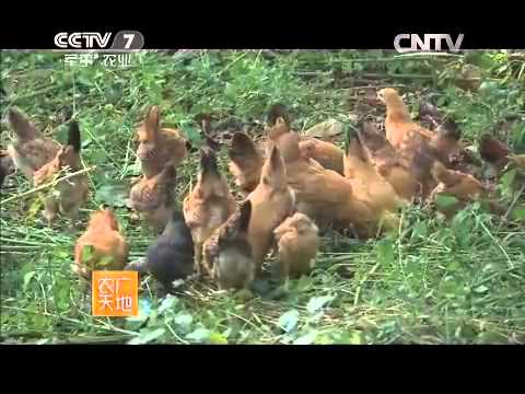 20150602 农广天地  江汉鸡养殖技术