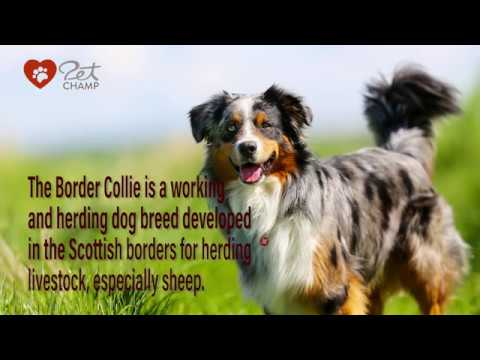 PETCHAMP'S Dog Breed of the Month - The Border Collie