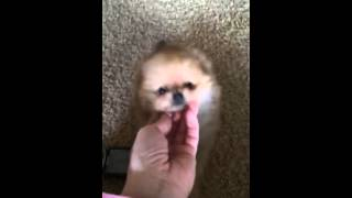 Micro Teacup Male Pomeranian Orange With A Teddy Bear Face