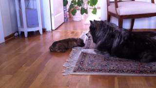Cairn Terrier Puppy And Finnish Lapphund