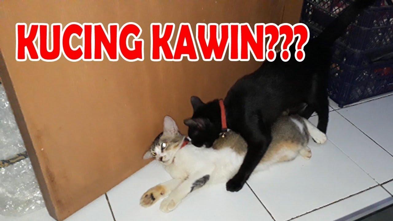 Kucing Kawin Kucing Birahi Cara Kucing Kawin Youtube