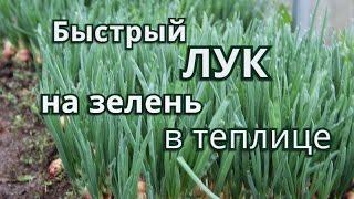 Быстрый Лук на зелень в теплице.(Лук на зелень в теплице. Как лучше посадить лук на зелень в теплице, чтобы побыстрее начать кушать первую..., 2016-04-19T07:19:49.000Z)