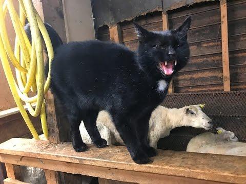 Sheep gets revenge on cat