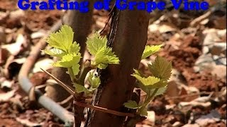 Grafting of Grape Vine