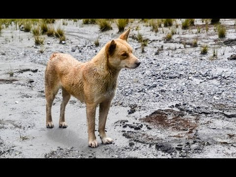 The world's rarest and most ancient dog has just been rediscovered in the wild