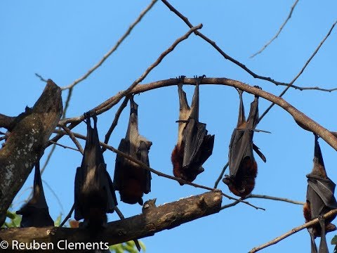 Dwindling flying fox numbers a thorny issue