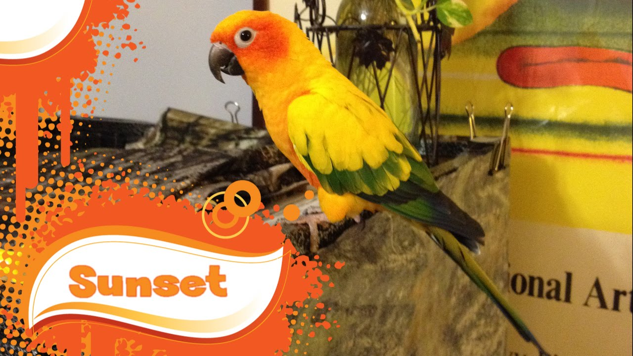 Wavy parrot: photo, care and maintenance at home 59
