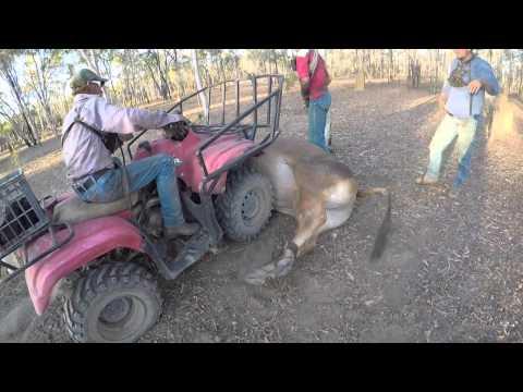 Blackdown Work and Travel Australien Cattle Station