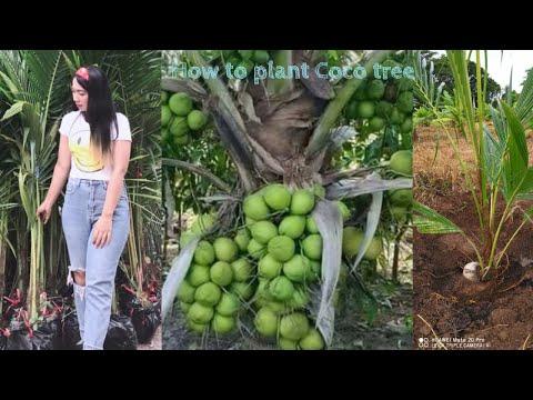 Coconut planting method