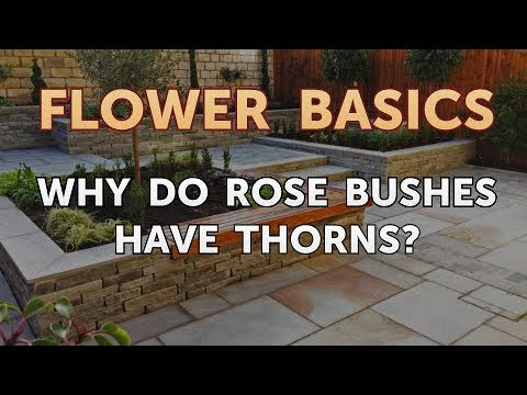 Why Do Rose Bushes Have Thorns?