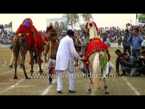 Dancing camel and horse in Kila Raipur Sports Festival thumbnail