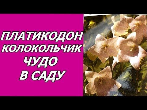 Платикодон - широкий колокольчик . Необычный цветок для сада. Посадка, уход, размножение, полив